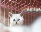 金华市区出售银渐层小猫幼猫英短喵星人出售