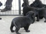 拉布拉多导盲犬幼犬寻回猎犬大型犬工作型血统纯正宠物犬宠物狗狗