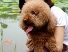 泰迪幼犬,纯种泰迪包健康 全国包邮 全国招代理