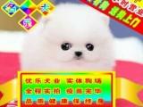 北京专业博美狗场 种公专业配种 可送狗狗上门