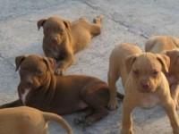 出售纯种比特犬 比特幼犬 品质好 血统保证