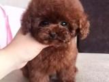貴在真實誠信 貴在超高性價比 出售純種泰迪犬幼犬