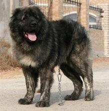 高加索幼犬 纯种高加索 亲民价格100%健康纯正