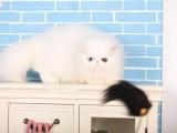 兰州哪里有波斯猫卖 纯种 无病无廯 协议质保
