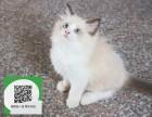 沈阳哪里有布偶猫出售 沈阳布偶猫价格 沈阳宠物狗出售信息
