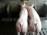 友发猪业长期大量销售纯种二元/太湖母猪以