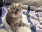 家庭猫舍高品质美国短毛猫种公对外借配