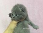 专业猫舍繁育优质小蓝胖