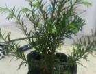 出售红豆杉,13元一颗,便宜的不能在便宜了
