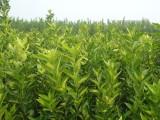美国糖桔(东方红桔 世纪红)苗