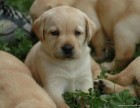 雙血統拉布拉多護衛犬 疫苗驅蟲已做 購買簽協議