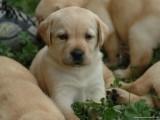 最忠诚护卫犬 纯种健康 签合同