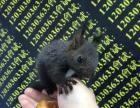 黄山松鼠,魔王松鼠幼崽最低价格出售