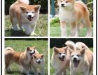 本地较大的纯种日系秋田犬专业繁殖基地 可上门挑选