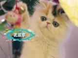 一大波小萌猫来袭 英短蓝白加菲金吉拉 自家养的
