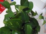 家养绿萝、虎皮兰、碧玉、碰碰香(盆+营养土+托盘)