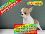 纯种吉娃娃犬品相好有多只可选 健康有保障 签购犬签协仪