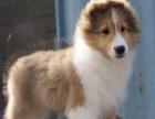喜乐蒂保纯种保健康出售中/送宠物用品/签质保协议