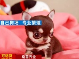 纯种吉娃娃犬多少价格,哪里能买到纯种吉娃娃犬