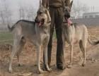 北京专业繁殖,赛级柴犬,带证书,带芯片,只做精品柴犬