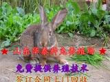 比利时兔野兔价格 比利时兔多少钱一只 比利时兔好养吗