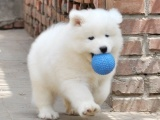 犬舍直销萨摩耶幼犬 纯种健康能养活 支持视屏对接