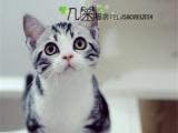 专业家庭式繁殖美短银虎斑 加白起司猫折耳立耳包纯种