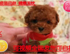 犬舍直销超级可爱的茶杯体泰迪熊宝宝,城市家庭喂养的首选