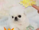 狗场繁殖小短腿京巴犬幼犬北京狗白色大眼睛公母多只