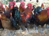 我公司常年出售散养香二 香三 瑶鸡等品种土鸡