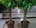 重慶什么地方賣發財樹辦公室盆栽開業喬遷送植物綠化帶樹苗