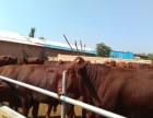 山西利木赞牛犊价格山西利木赞牛犊多少钱