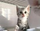 美短加白美短标斑弟弟1300 猫咪价格以标题价格为