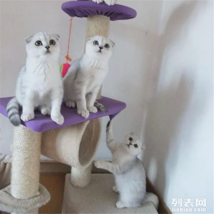 英短折耳 美短折耳 银渐层折耳可爱小猫咪出售 家养纯种