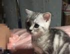 自养美短母幼猫,送皇家幼猫粮
