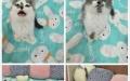 特价英短蓝猫蓝白美短渐层加菲猫宠物猫