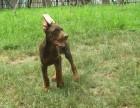 德州哪里出售纯种宠物杜宾