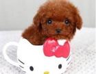 出售纯种泰迪宝宝泰迪幼犬 狗狗活泼可爱 包健康
