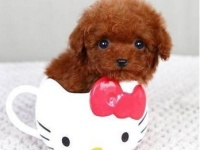 纯种韩系泰迪熊 茶杯 玩具 可爱至极 签协议