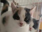 英国短毛猫 蓝白GG 有偿领养