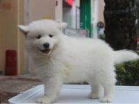 杭州出售萨摩幼犬 杭州哪里有卖纯种健康萨摩犬 包健康纯种