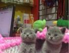 低价出售纯血统英短三花色,金吉拉成母猫咪啦保纯