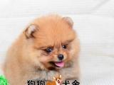肇庆狗狗犬舍出售纯种白色博美犬,棕色博美宠物狗