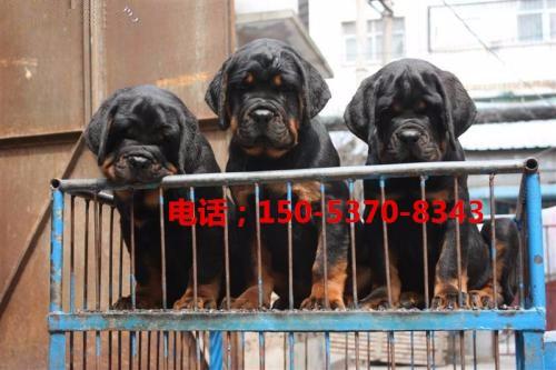 纯种罗威纳犬 幼犬 忠实的护卫犬 犬舍出售 保健康
