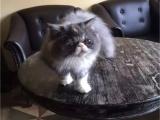 猫舍出售纯种健康波斯猫可上门挑选全国发货
