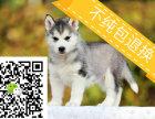 正规犬舍哈士奇雪橇犬三火双蓝眼哈士奇二哈幼犬包纯种