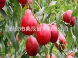 中油20号桃树苗品种介绍 优质桃树苗现挖现卖