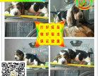 纯种健康巴吉度猎犬 包纯种保健康 签订售犬协议