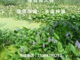 雨久花批发 雨久花种苗 承接雨久花种植
