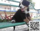 伯恩犬纯正健康出售-幼犬出售,当地可以上门挑选
